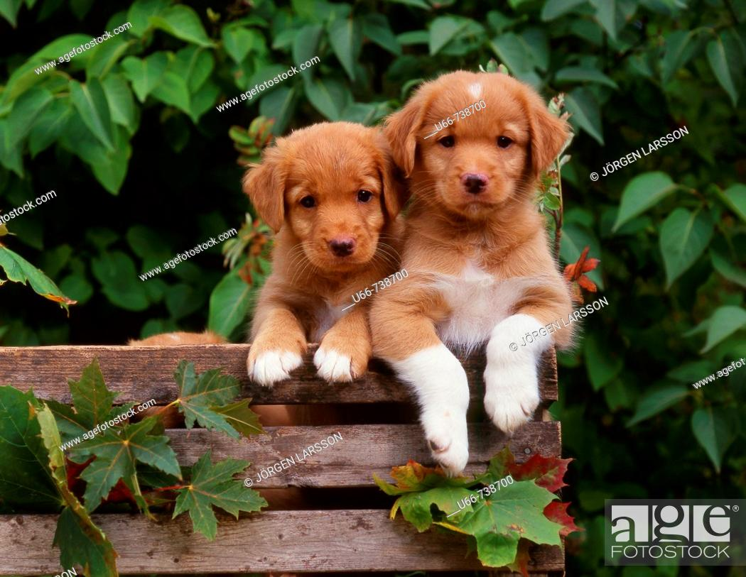 Stock Photo: Dogs whelps, Nova Scotia duck tolling retrievers.