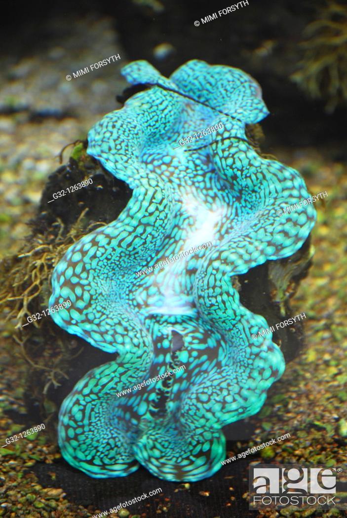 Stock Photo: Giant Clam (Tridacna gigas), French Polynesia.