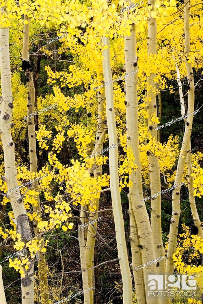 Stock Photo: Aspen trees.