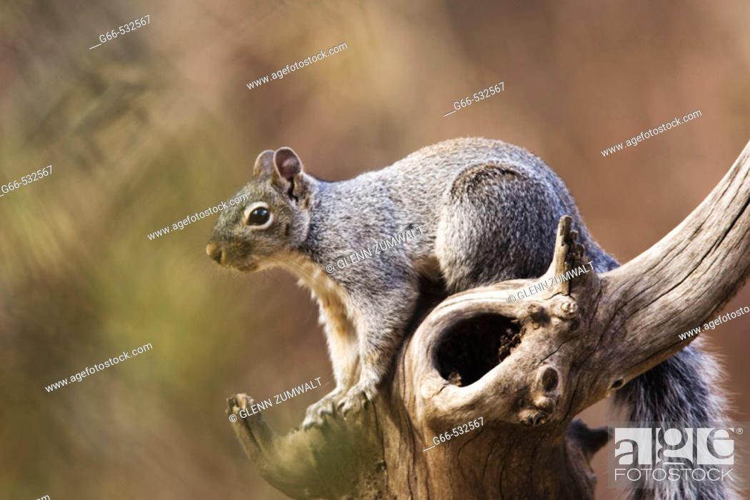 Stock Photo: Arizona Gray Squirrel (Sciurus arizonensis).