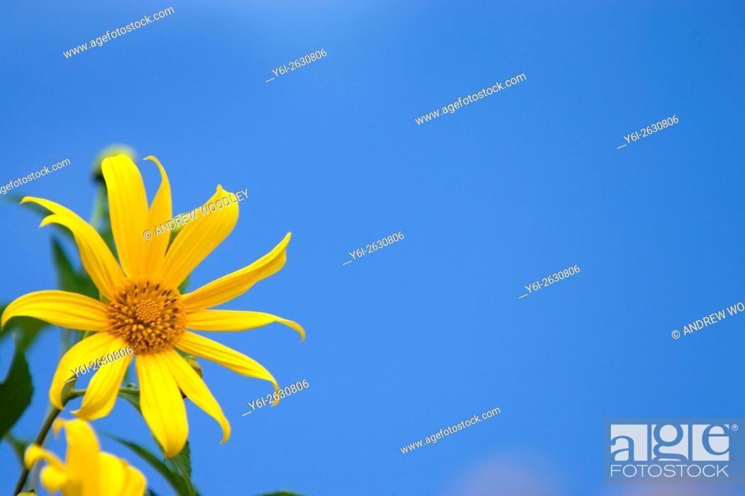 Stock Photo: Mountain slopes of seasonal yellow sunflowers Khun Yuam Thailand.