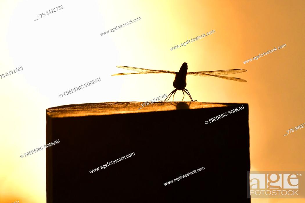 Stock Photo: Dragon fly, sunset , Tonle Sap river, Cambodia, South East Asia.