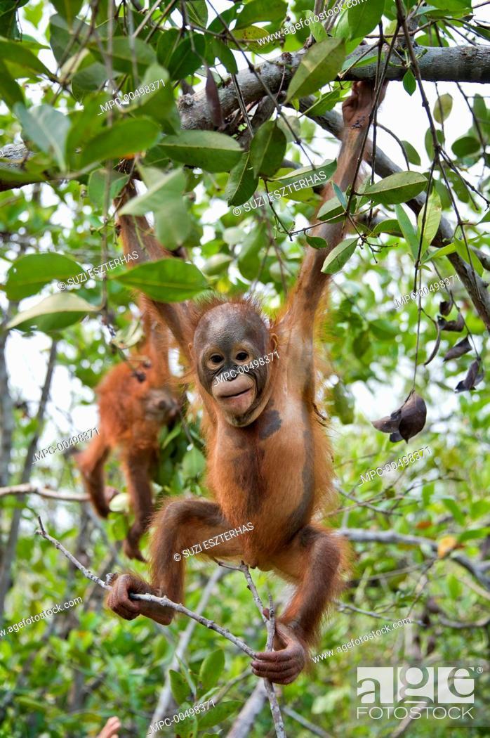 Photo de stock: Orangutan (Pongo pygmaeus) two year old infant playing in tree, Orangutan Care Center, Borneo, Indonesia.