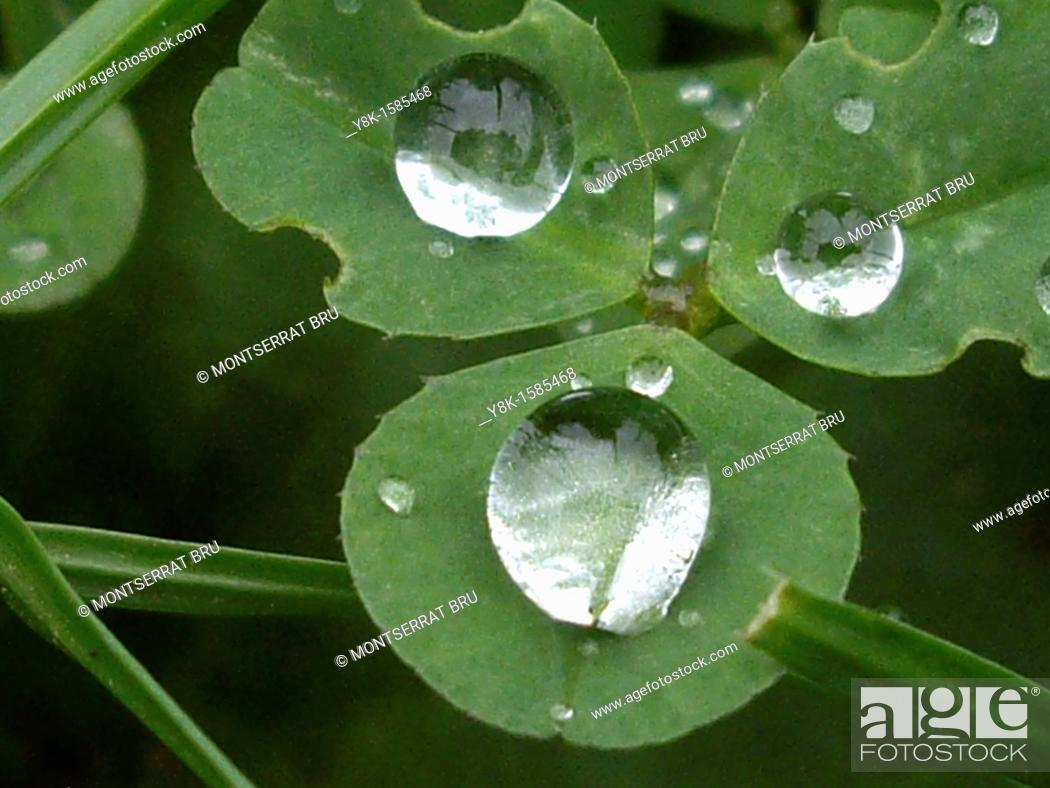 Stock Photo: Clover with 3 raindrops.