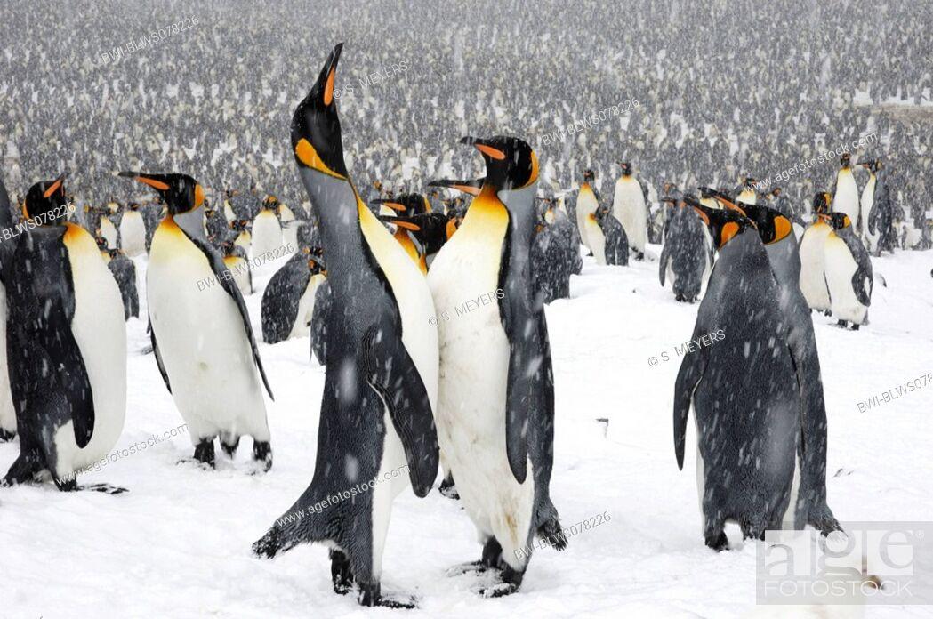Stock Photo: king penguin Aptenodytes patagonicus, colony in the snow, Antarctica, Suedgeorgien.