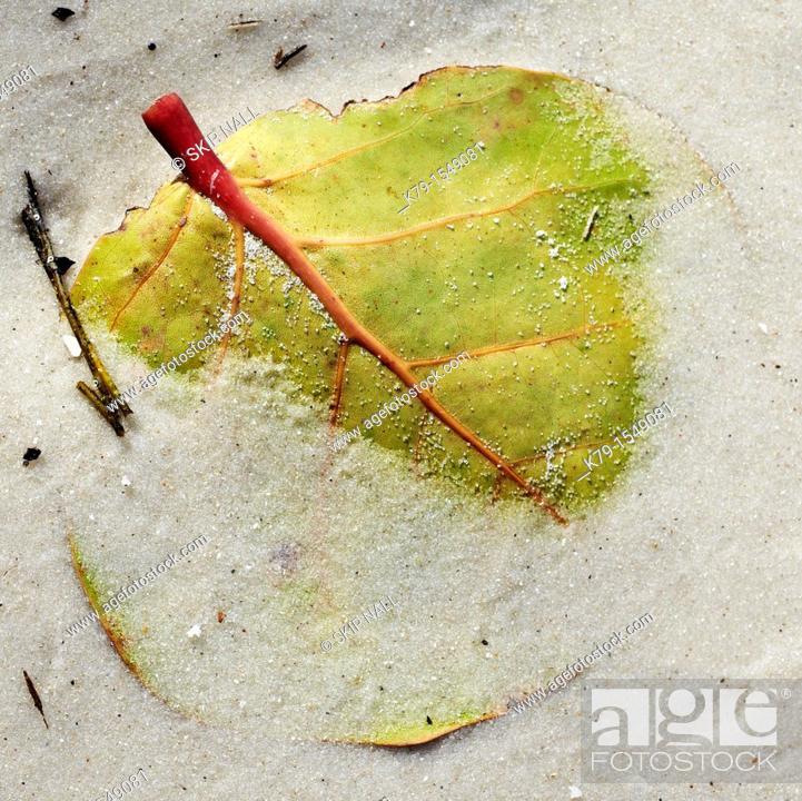 Stock Photo: Close up of sea grape leaf on the beach.