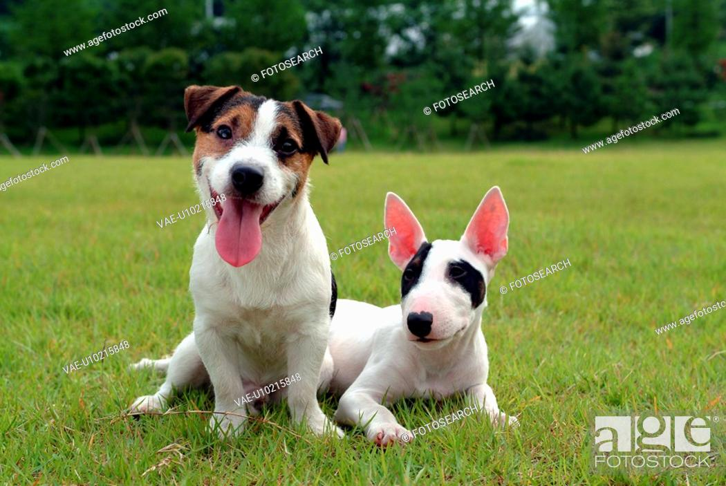 Stock Photo: domestic animal, jack russell terrier, pet, terrier, russell, close up, dog.