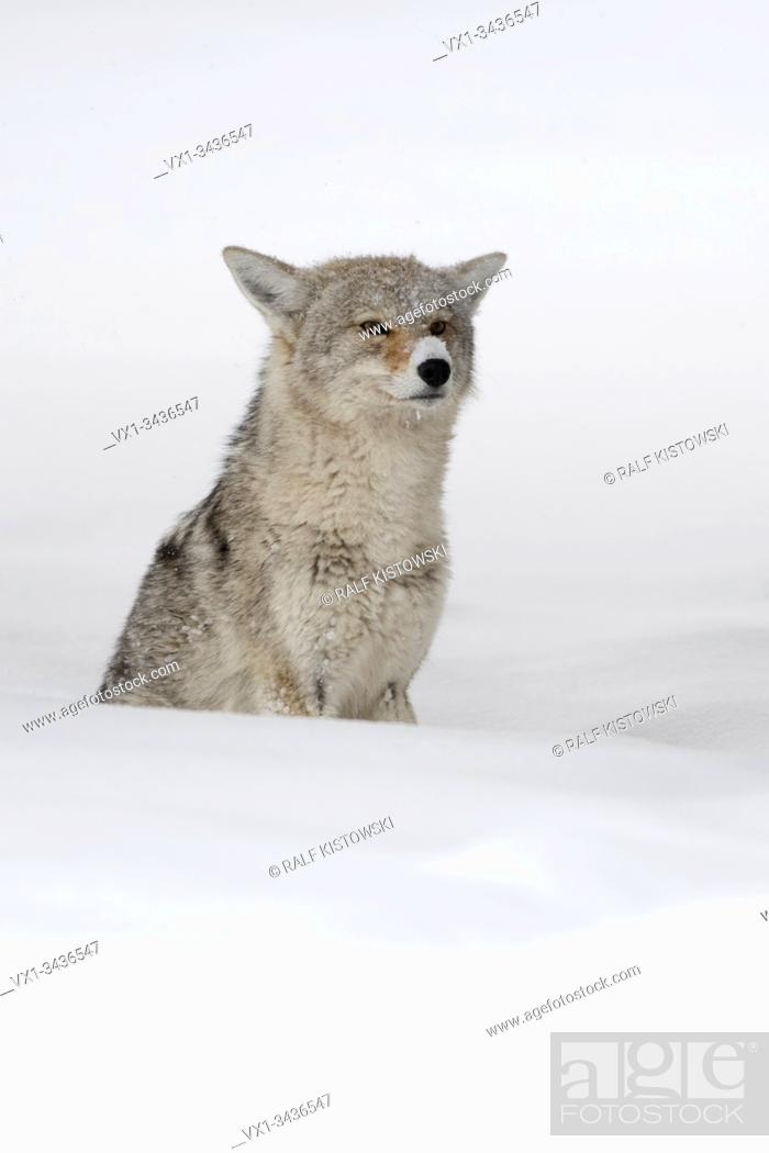 Stock Photo: Coyote ( Canis latrans ), in winter, sitting in deep snow, waiting, watching carefully, looks funny with the snow on its nose, Yellowstone NP, USA. .