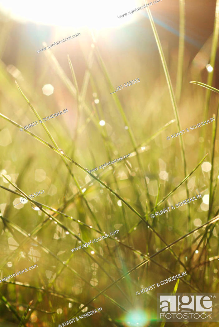 Stock Photo: Grasses after summer rain. Bavaria, Germany.