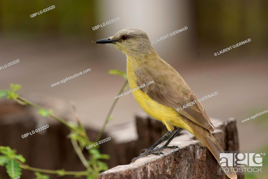 Stock Photo: Ave, Well-you-see-of-crown, Pantanal, Mato Grosso do Sul, Brazil.