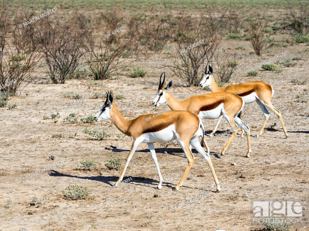 Stock Photo: Springboks (Antidorcas marsupialis), near Okaukuejo, Etosha National Park, Namibia.