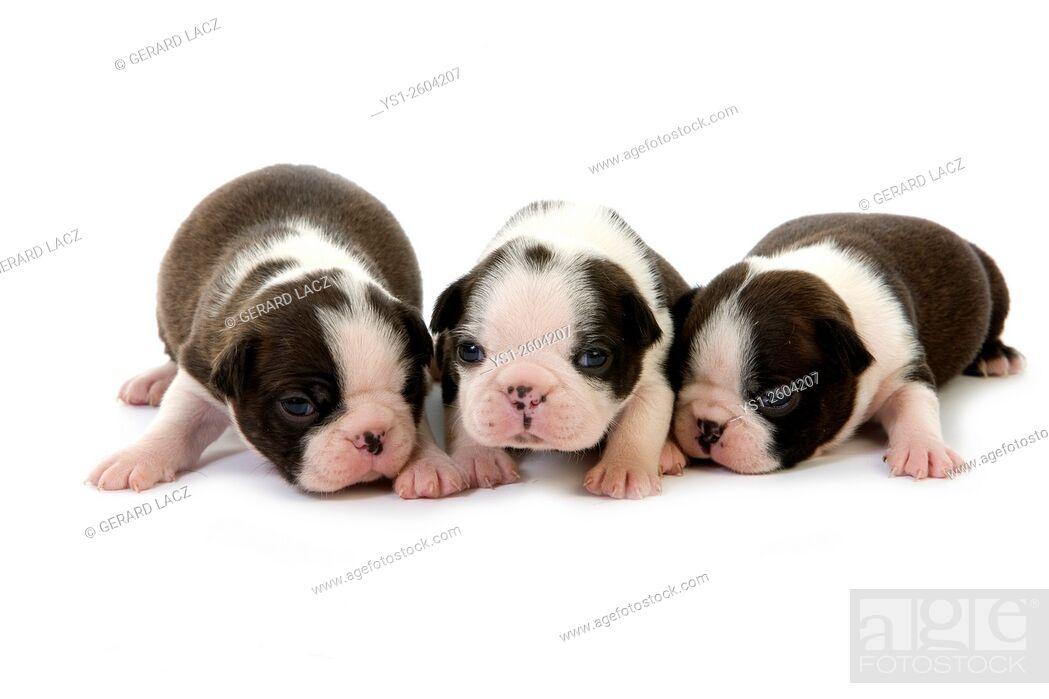 Imagen: Boston Terrier Dog, Pups standing against White Background.