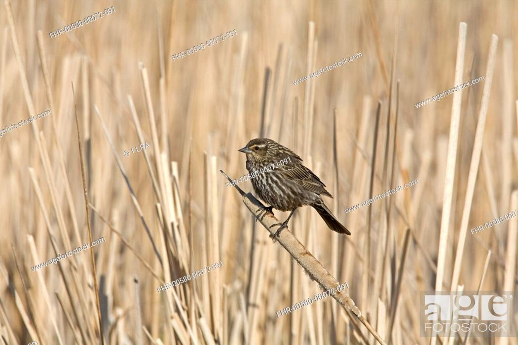 Stock Photo: Red-winged Blackbird Agelaius phoeniceus adult female, perched on cattail in marsh, North Dakota, U S A , spring.
