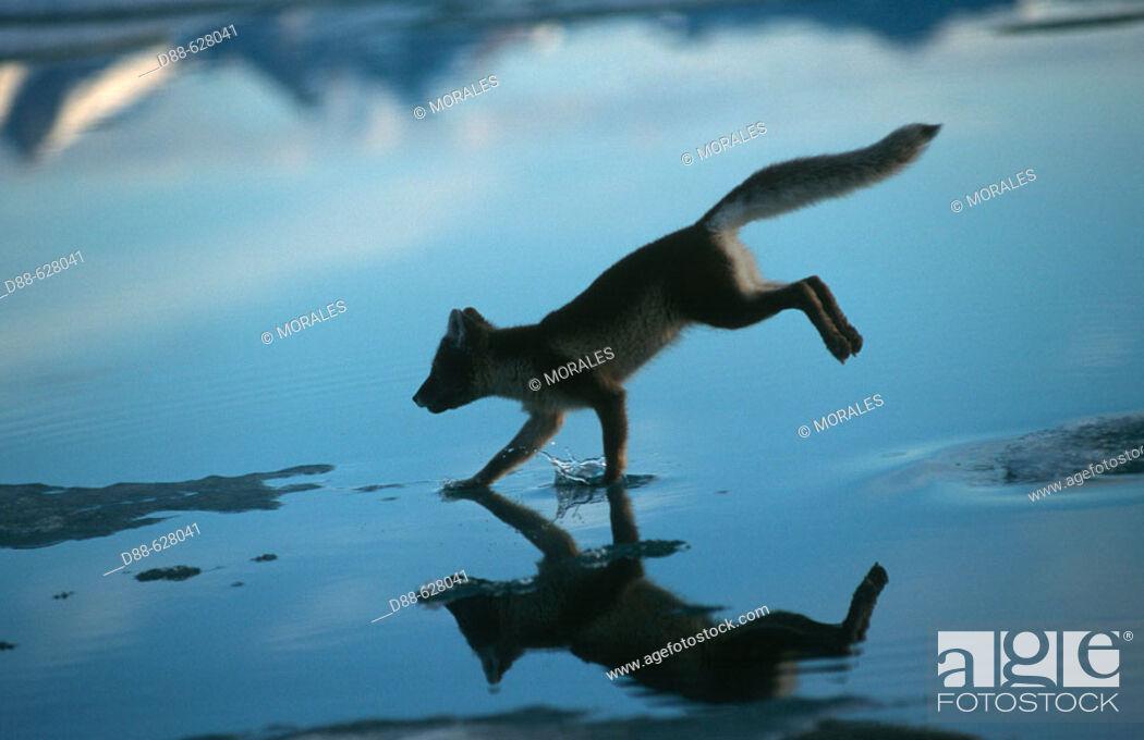 Stock Photo: Artic fox (Alopex lagopus).