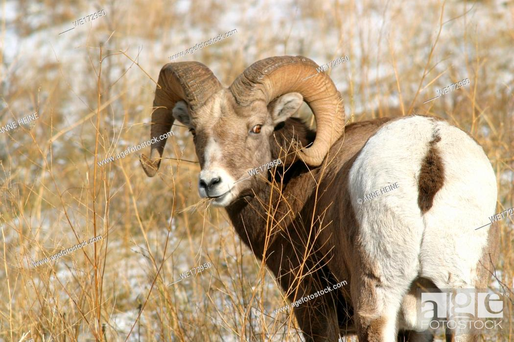 Stock Photo: Rocky Mountain Bighorn Sheep (Ovis canadensis canadensis)Male just before tasting females hormonal stage. Best seen in sequence with the other shots :).