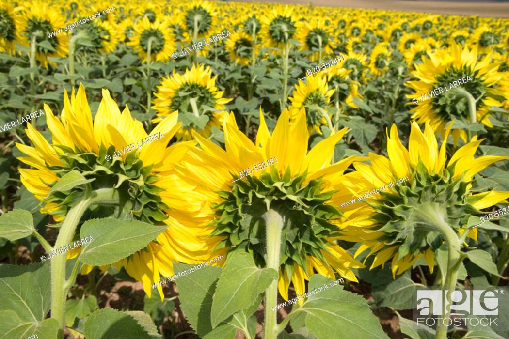 Stock Photo: Sunflowers field. 'Learza' estate. Near Estella, Navarre, Spain.
