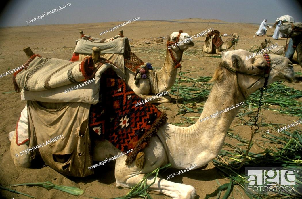 Stock Photo: Dromedary-Camel-Train-at-Rest,-Egypt.