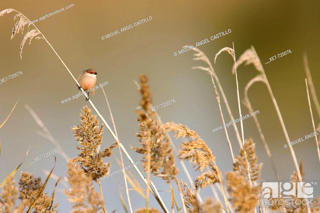 Stock Photo: Common waxbill (Estrilda astrild) on reeds. Llobregat river delta, Barcelona province, Catalonia, Spain.