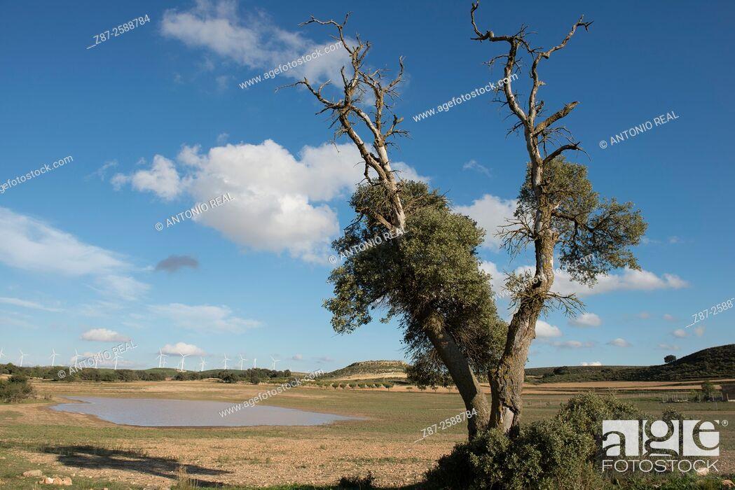 Stock Photo: Holm oak (Quercus ilex), paraje de Botas, Almansa, Albacete, Castile-La Mancha, Spain.