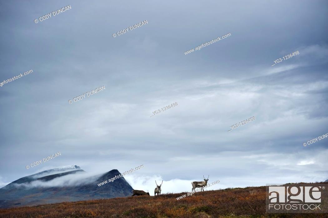 Stock Photo: Reindeer in mountain landscape, Kungsleden trail, Lapland, Sweden.