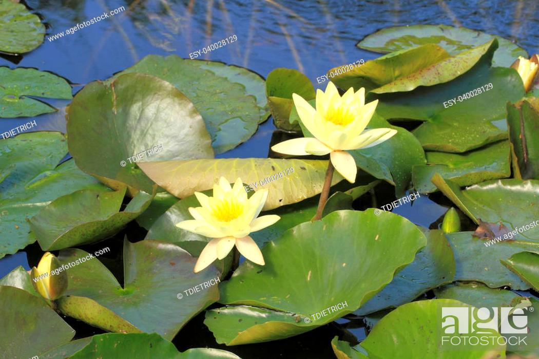 Stock Photo: Blooming water lily (Nymphaea alba) in a pond.