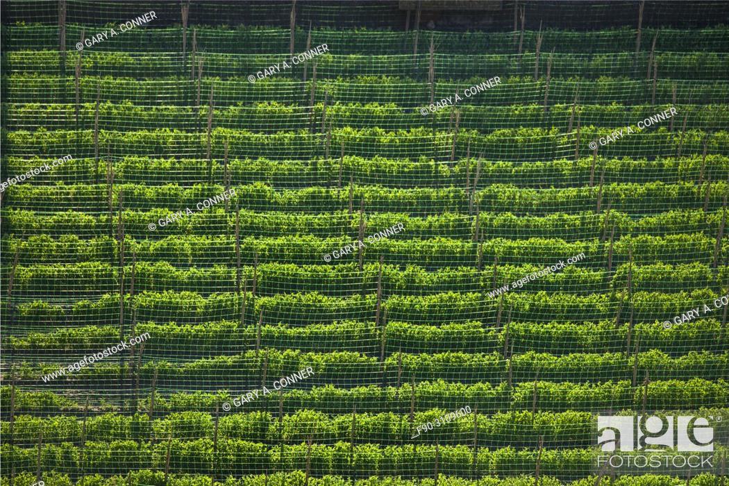 Imagen: Field of climbing beans, Salobreña, Granada, Spain.