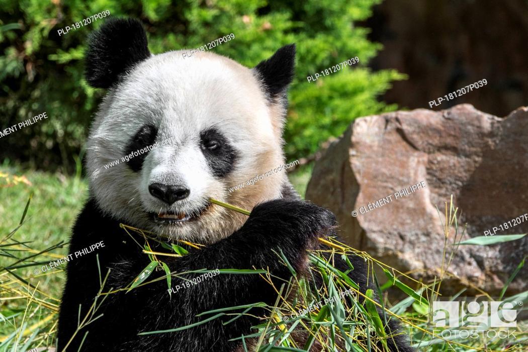 Stock Photo: Close up of giant panda (Ailuropoda melanoleuca) eating bamboo in zoo.
