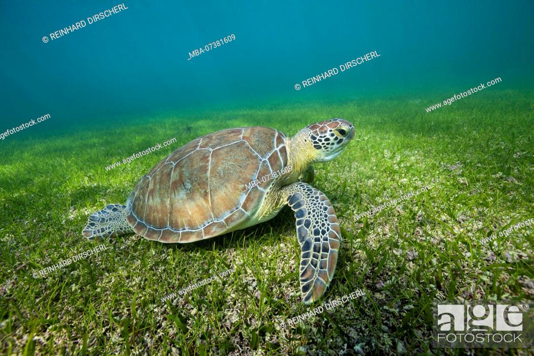 Stock Photo: Green Sea Turtle, Chelonia mydas, Akumal, Tulum, Mexico.