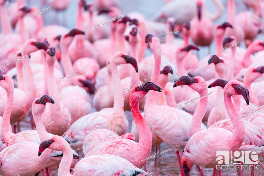 Stock Photo: Flamingos, Salinas, Walvis Bay, Namibia, Africa.