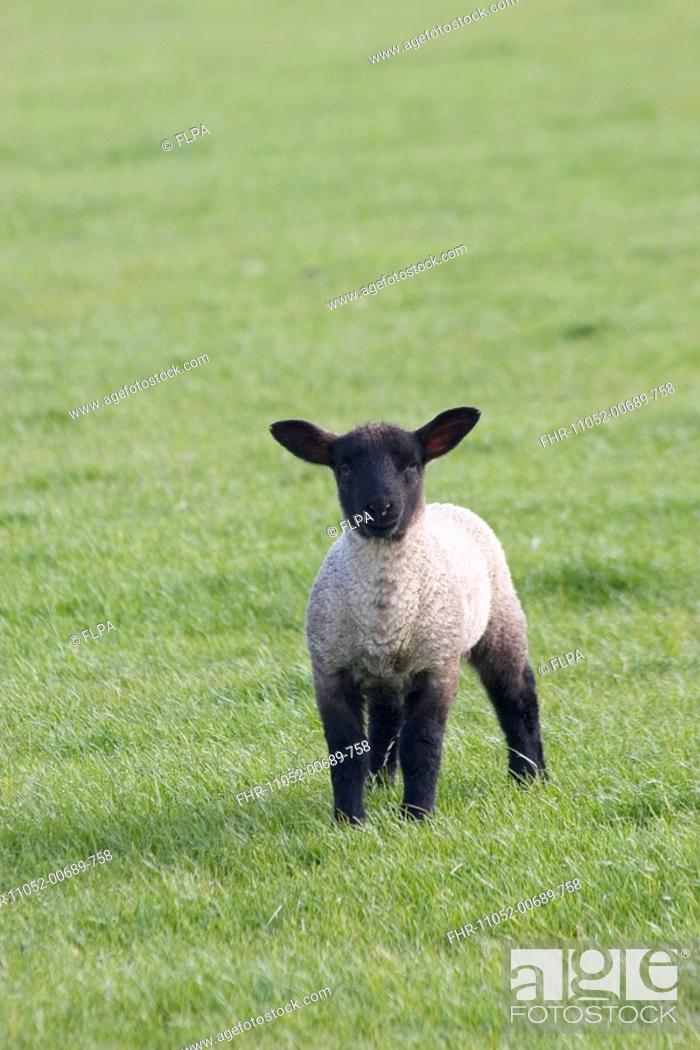 Domestic Sheep Black Faced Lamb Standing In Pasture Keld