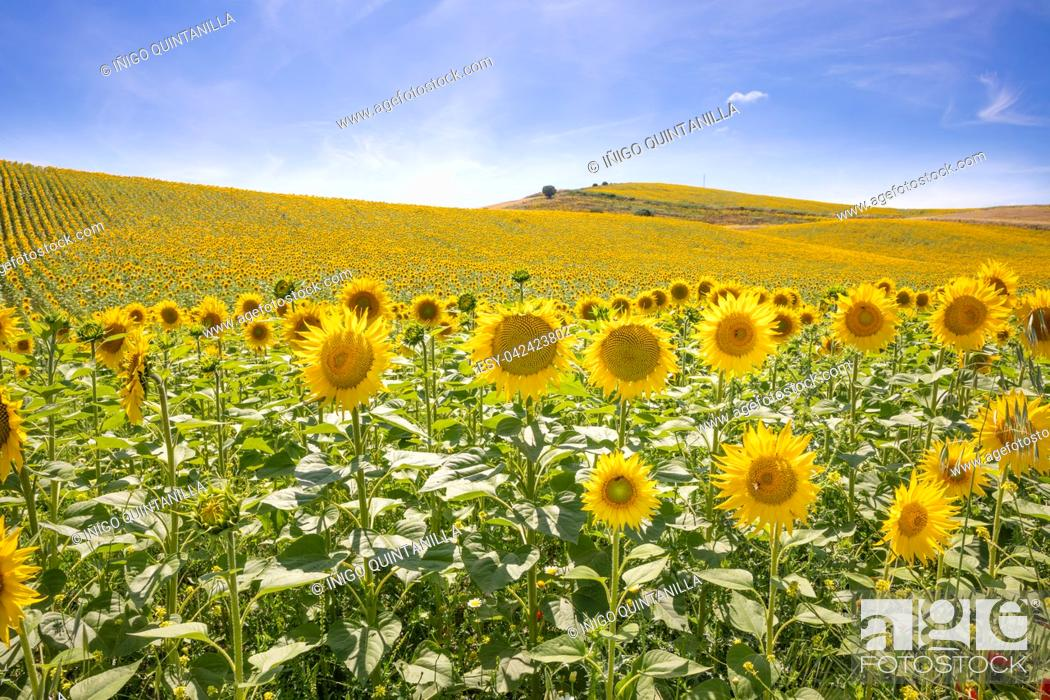 Stock Photo: landscape of sunflowers until the horizon, in Vejer de la Frontera (Cadiz, Andalusia, Spain, Europe).