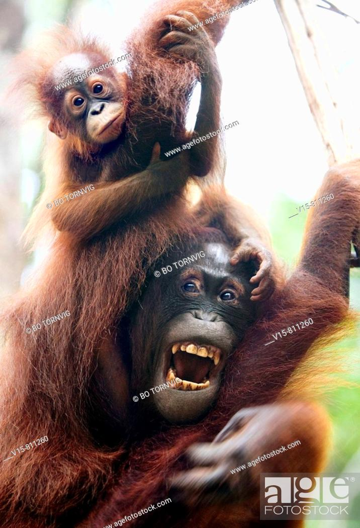 Stock Photo: Female orangutan with her enfant in tree.