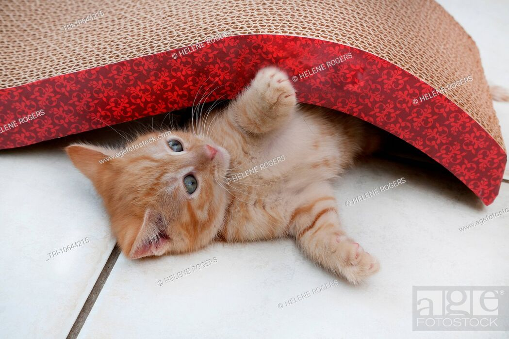 Imagen: Ginger Kitten Playing With Scratch n'Shapes A Type Of Scratching Post Made With Recycled Paper.