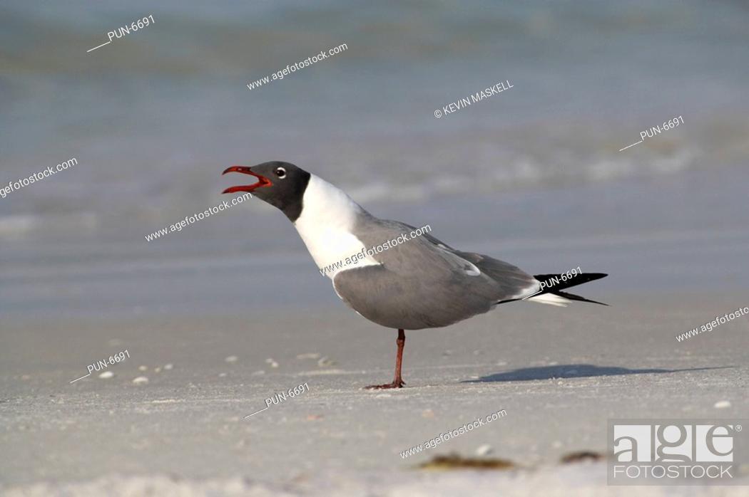 Stock Photo: Laughing gull Larus atricilla calling on Fort de Soto, Florida.