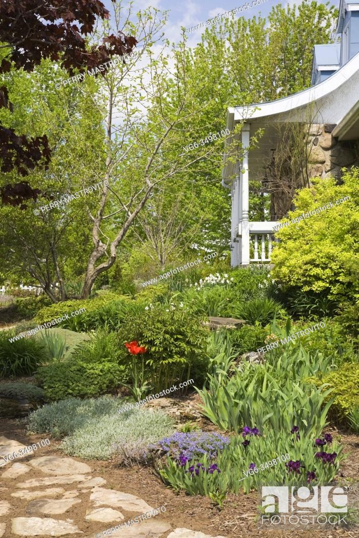 Stock Photo: Partial view of an old house and flagstone path next to border planted with purple Iris and red Tulipa flowers, plants and shrubs in front yard country garden.
