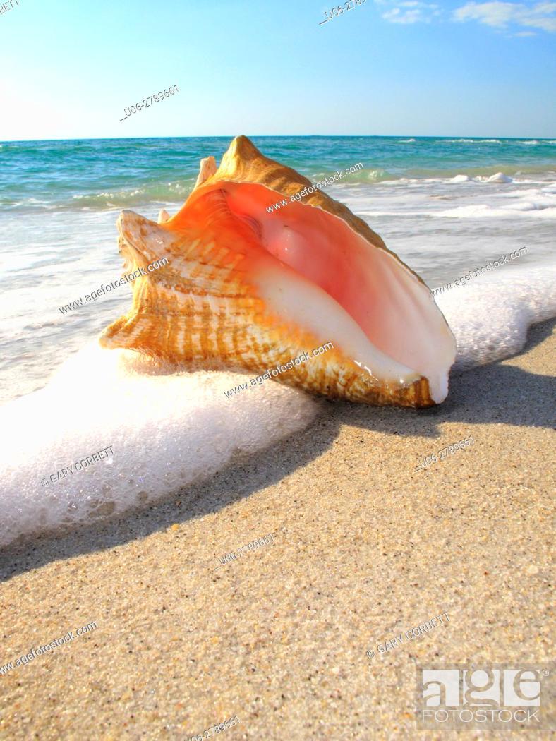 Stock Photo: conch shell on Florida USA beach.