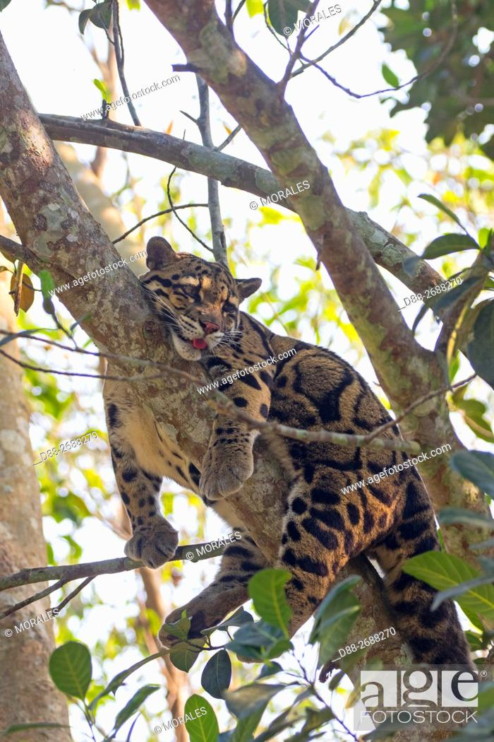 Stock Photo: South east Asia, India,Tripura state,Clouded leopard (Neofelis nebulosa).