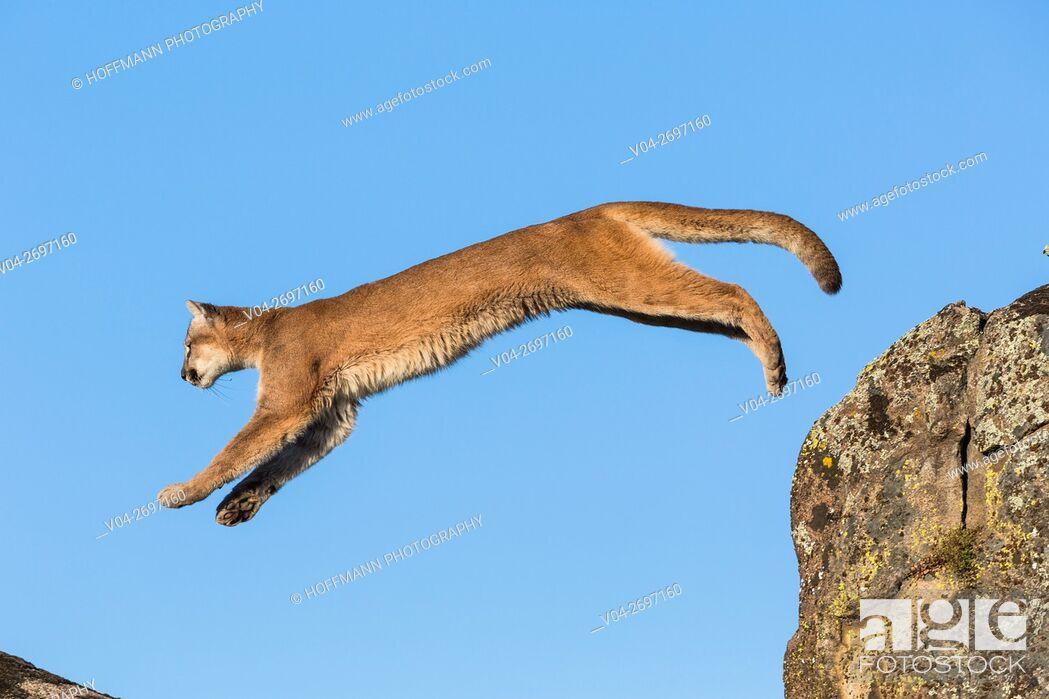 Stock Photo: Adult mountain lion (Puma concolor) jumping, captive, California, USA.