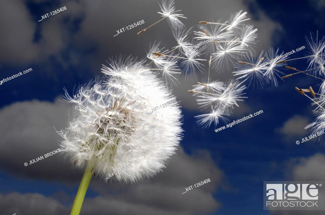 Stock Photo: Dandelion seeds blowing in the wind.