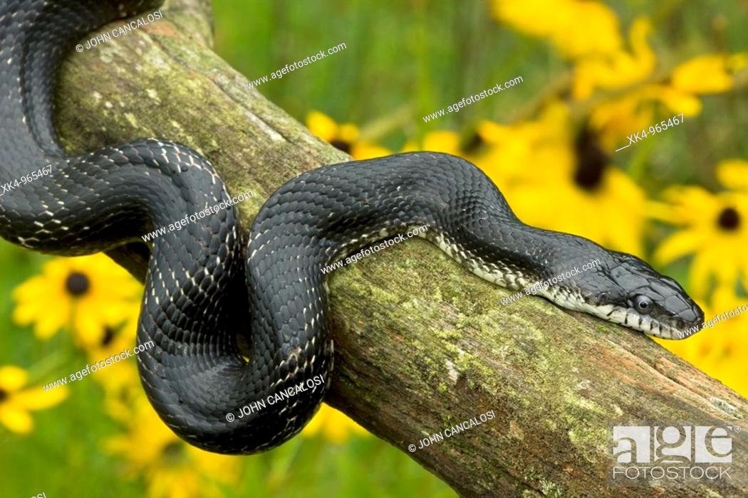 Stock Photo: Black Ratsnake (Elaphe obsoleta) on log, New York, USA -Grows to over 8 feet - Largest snake in North America - Good climber - Eats rodents.