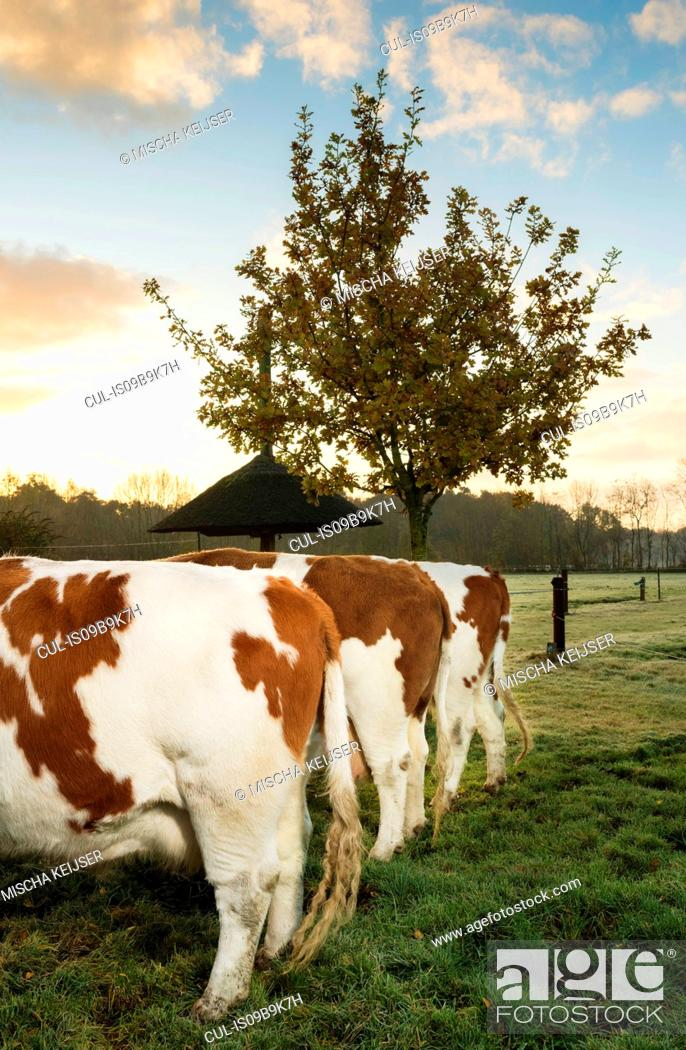 Imagen: Three domestic cows in field, in a row, rear view.