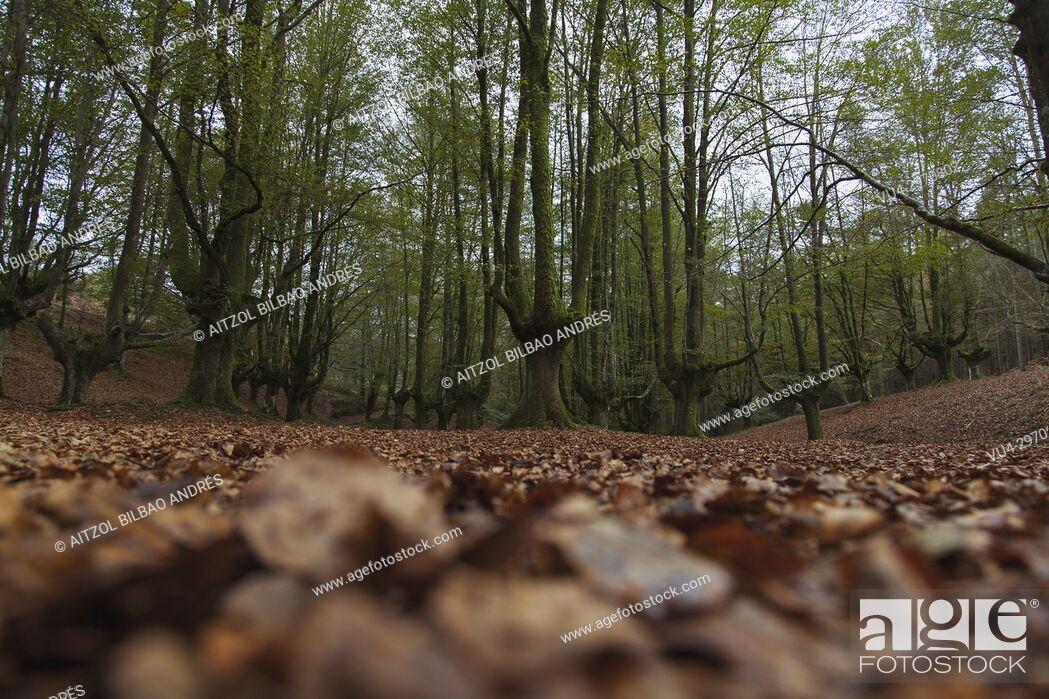 Stock Photo: Beech forest called Otzarreta, Gorbeia natural park, Basque country.