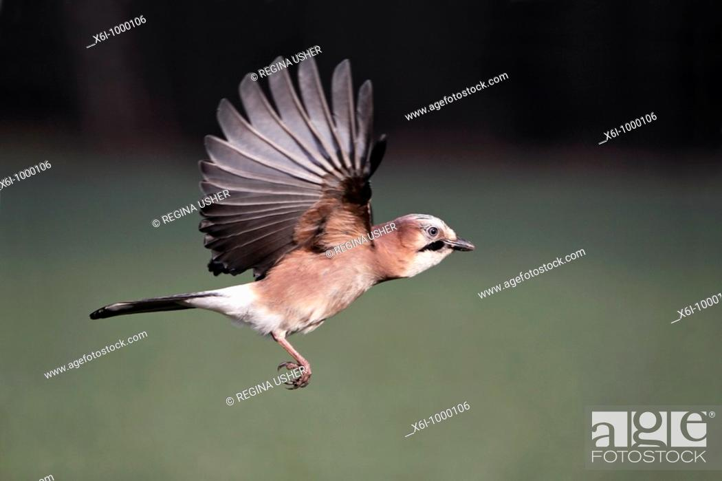 Stock Photo: Jay Garrulus glandarius, in flight, Germany.
