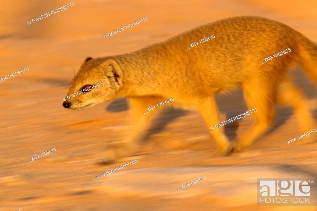 Stock Photo: Yellow Mongoose (Cynictis penicillata), Kgalagadi Transfrontier Park, Kalahari desert, South Africa.