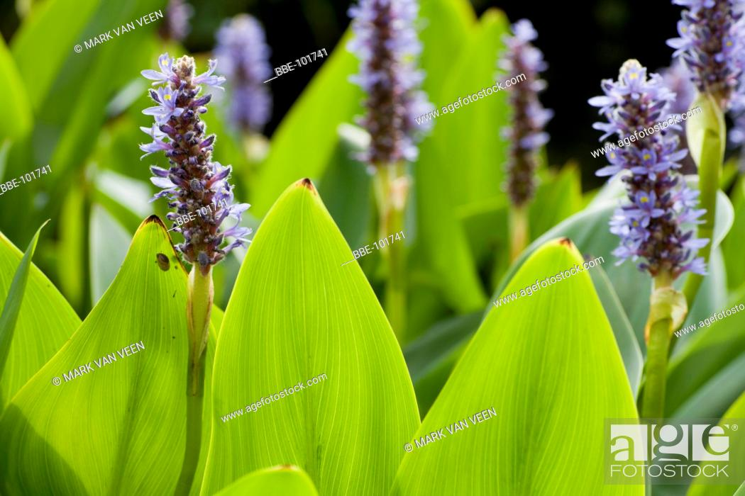 Stock Photo: Pickerelweed is an exotic plant from North-America, that is establishing itself in Europe It is a popular garden plant.