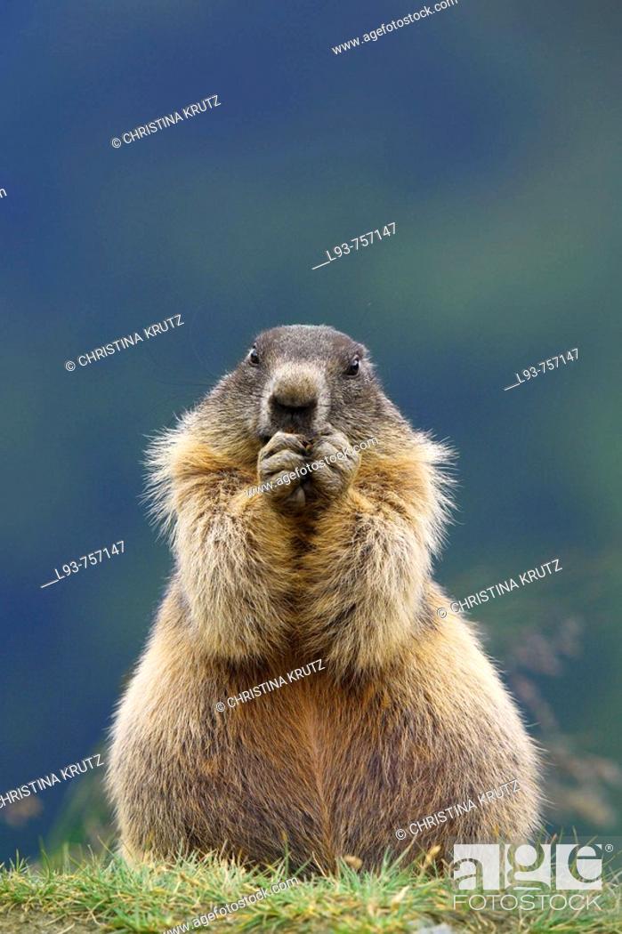 Stock Photo: Alpine Marmot Marmota marmota.