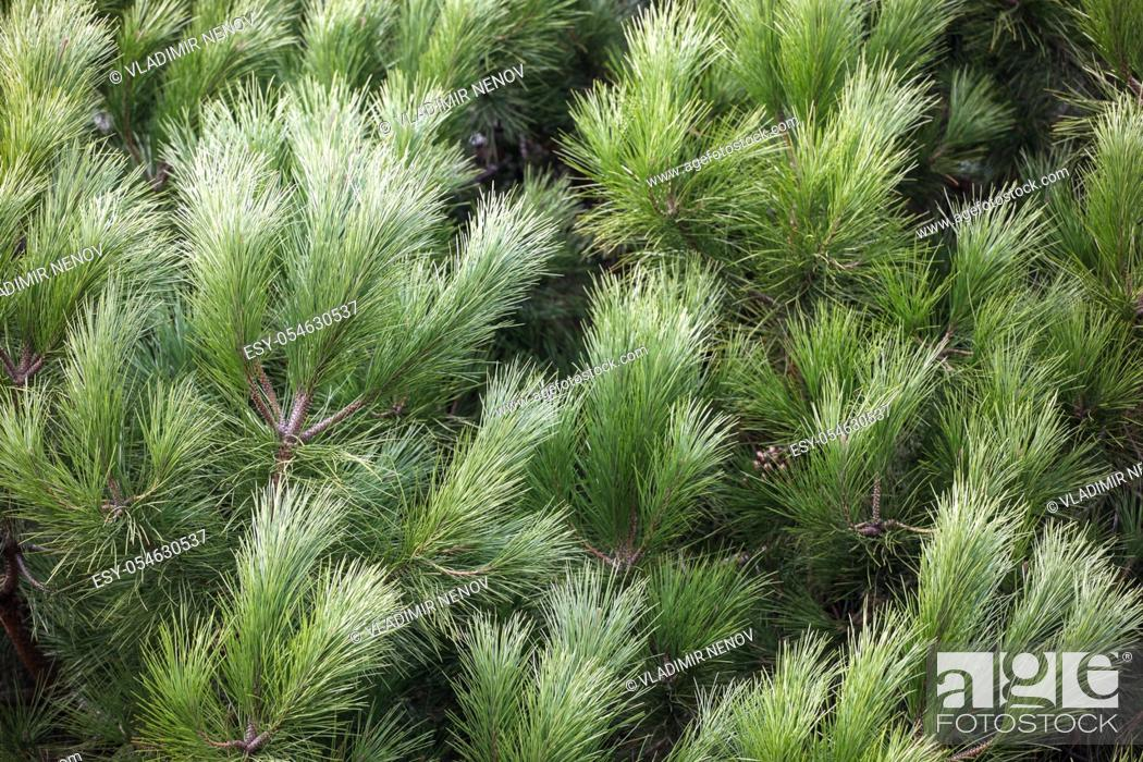 Stock Photo: Close-up of bright green pine tree branches.
