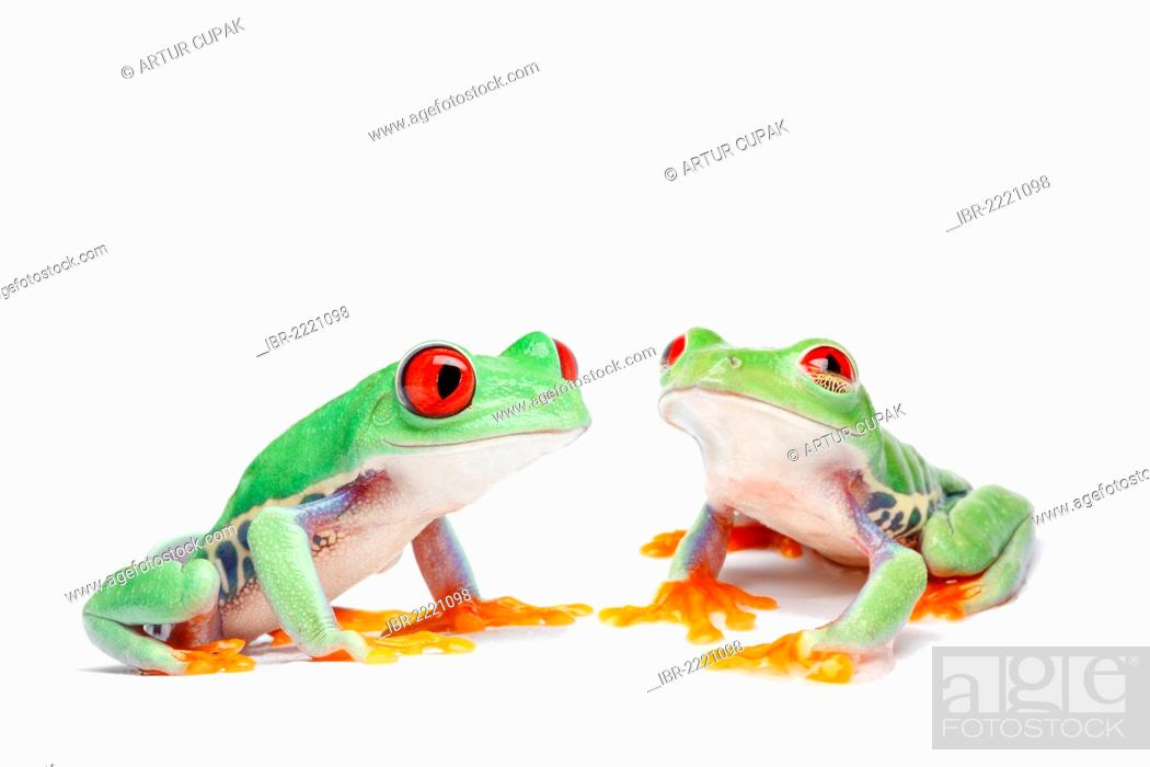 Stock Photo: Two Red-eyed Tree Frogs (Agalychnis callidryas).