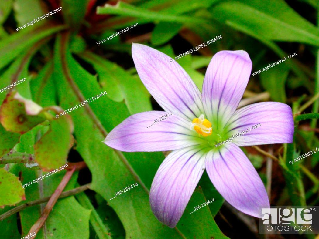 Stock Photo: Romulea bulbocodium.