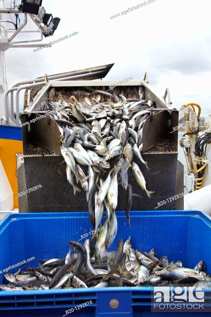 Stock Photo: Mackerels, unloading fish from boat at port with a suction pump, Santoña, Cantabria, Spain.